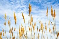 Wheat Blowing in the Wind Fine-Art Print