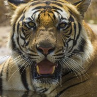 Male Bengal Tiger at Bandhavgarh Tiger Reserve, India Fine-Art Print