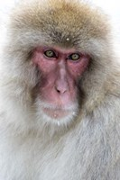 Portrait of a Monkey, Japan Fine-Art Print