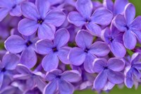 Lilac Flower Fine-Art Print
