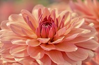 Peach Colored Dahlia Flower Fine-Art Print