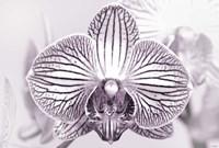 Orchid 2 BW Fine-Art Print