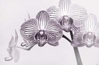Orchid 3 BW Fine-Art Print