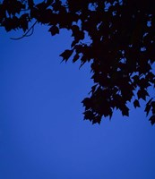 Blue Maple Silhouette Fine-Art Print
