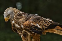 Red Kite Looking Down Fine-Art Print