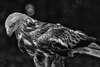 Red Kite Looking Down - Black & White Fine-Art Print