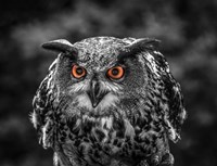 Red Eyed Owl - Black & White Fine-Art Print