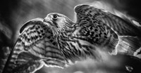 Predator Bird Spreading it's Wings - Black & White Fine-Art Print