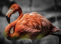 Flamingo - Black & White Fine-Art Print