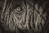 Elephant Close Up II Sepia Fine-Art Print