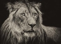 The Lion Sepia Fine-Art Print