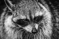 The Raccoon - Black & White Fine-Art Print