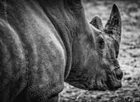 Rhino - Black & White Fine-Art Print