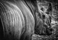 Rhino II - Black & White Fine-Art Print