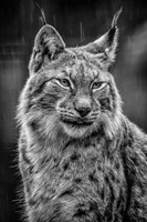 Lynx in the Rain - Black & White Fine-Art Print