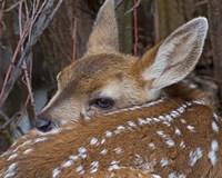 Mule Deer Fawn Fine-Art Print