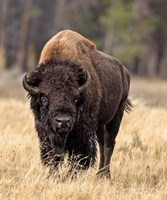Bull Bison Fine-Art Print
