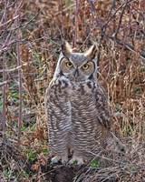 Great Horned Owl Fine-Art Print