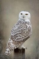 Snowy Owl Fine-Art Print