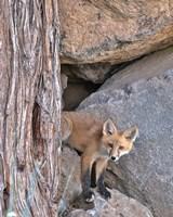 Red Fox Kit Fine-Art Print