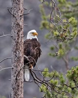 Bald Eagle Fine-Art Print