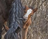 Ochoco Wild Foal - Big Summit HMA Fine-Art Print