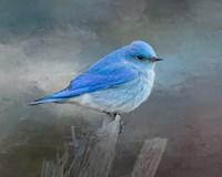 Mountain Bluebird Fine-Art Print