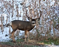 Mule Deer Buck Fine-Art Print
