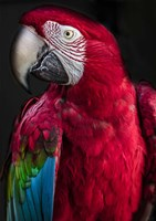 Ara Parrot Fine-Art Print