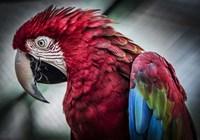 Ara Parrot II Fine-Art Print