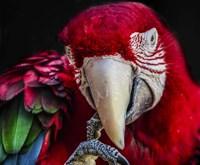Ara Parrot  III Fine-Art Print