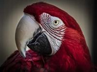 Ara Parrot Close Up III Fine-Art Print