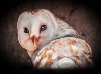 Screech Owl Fine-Art Print