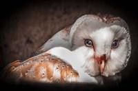 Screech Owl II Fine-Art Print