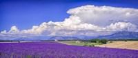 Cloud Bank Over Lavender - Panorama Fine-Art Print