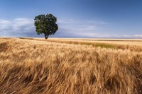 Lone Tree In Wheat Field Fine-Art Print