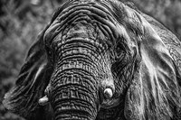 Elephant Front Black & White Fine-Art Print