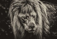 The White Albino Lion III Sepia Fine-Art Print