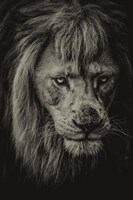 The White Albino Lion IV Sepia Fine-Art Print