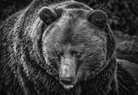 The Grizzly Black & White Fine-Art Print