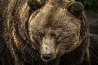 The Grizzly II Fine-Art Print