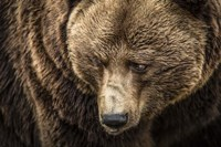 The Grizzly III Fine-Art Print