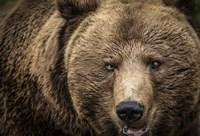 The Grizzly IV Fine-Art Print