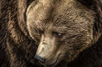 The Grizzly Close Up Fine-Art Print