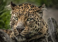 The Jaguar Close Up Fine-Art Print