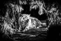 The Howling Wolf Black & White Fine-Art Print