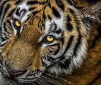 Tiger Close Up Fine-Art Print