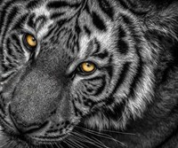 Tiger Close Up Black & White Fine-Art Print
