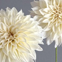2 Cream Dahlias on Gray Fine-Art Print