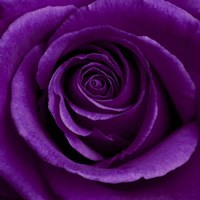 Purple Rose 1 Fine-Art Print